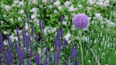"Salvia nemorosa ""Caradonna"""