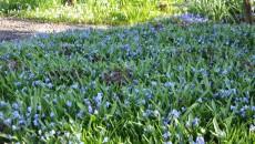 Teppich aus Blausternchen